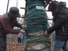 """南京移40余棵""""寿星法桐""""整一年 树木均成活"""