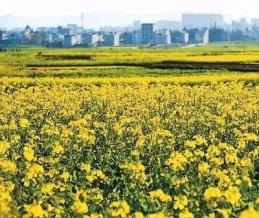 云南百万亩油菜却开出地球上最美春天