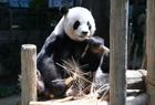 大熊猫生宝宝喽
