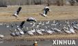两千余只鹤科鸟类惊现开封自然保护区