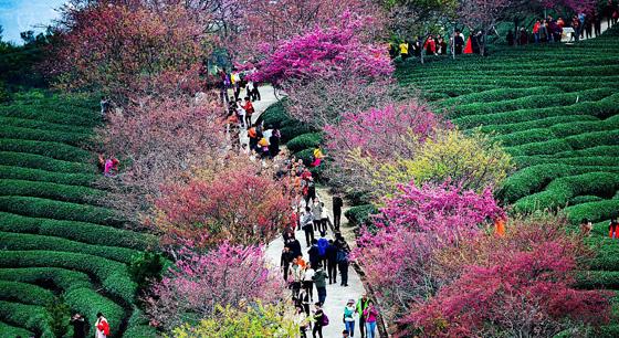 新春假期里 福建龙岩樱花茶园迎客来