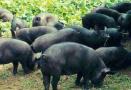大学教授春节不忘卖猪肉 小猪住进恒温宿舍