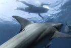 成群鲨鱼藏匿水下