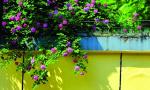 正是春光最盛时 这些蔷薇花瀑美爆了!