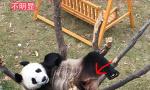 """在沈阳的熊猫""""浦浦""""由""""千金""""变成了""""少爷"""""""