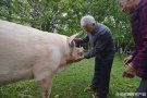 """汶川地震10年后又见""""猪坚强"""":已300多斤 10岁半""""高龄""""行动不便"""