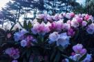 黄山杜鹃始盛开
