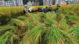 湖南杂交水稻研究中心三亚基地 亩单产超千公斤