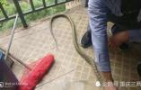 惹不起!高校寝室跑来一条蛇,学生把它剥皮放红枣陈皮炖了!