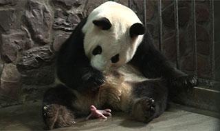 【组图】大熊猫家族又添双胞胎
