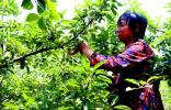 青岛:无袋种植解放劳动力 每年为果农省1.5亿套袋钱