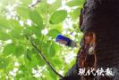 """南京打响夏季""""治虫大战"""",首次给樱花树""""打针"""""""