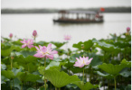 济南市第32届荷花艺术节开幕 百亩荷田迎风吐艳