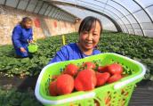 河南鶴壁貧困山村草莓紅