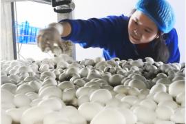 英媒:研究显示吃蘑菇可预防轻度认知障碍