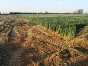 漯河上百亩麦田被毁