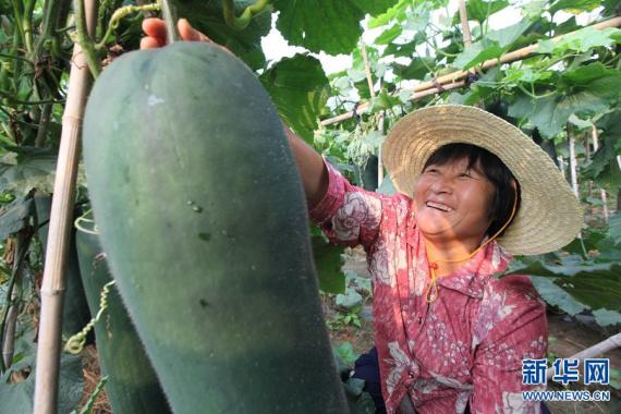 河南郸城:黑皮冬瓜助力乡村振兴