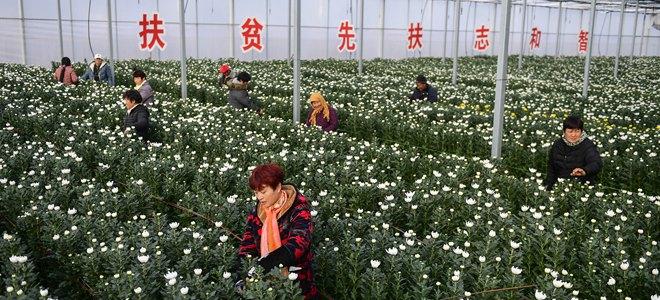 山东台儿庄:菊花铺就脱贫路
