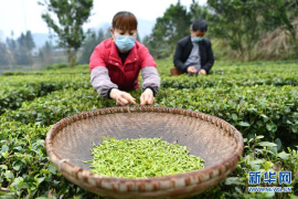 鄂西山区春茶采摘