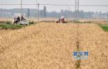 河北省3305万亩小麦又迎丰收年
