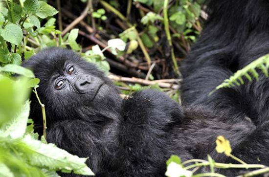 世界上仅剩大概880只山地大猩猩