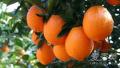脐橙是什么梗 脐橙的功效与作用