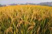 以后浙江人将会吃到更多吉林的优质大米