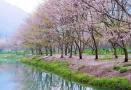 大连开通旅顺赏樱直通车 到二〇三樱花园有多条线路