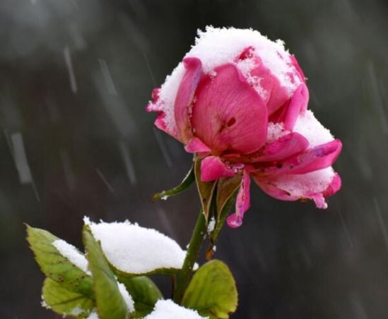莱州月季花,莱州月季花节,莱州月季批发