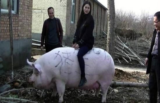郑州/核心提示:只见托着人的大肥猪,高1.05米的白毛大猪在PK掉几十...