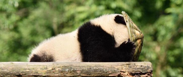 大熊猫有了新玩具
