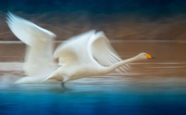远道而来 天鹅选择黄河沉沙池度过严寒一冬