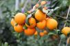 """象山""""红美人""""在沪拍出天价:有买家以61.5元单价买走3万斤柑橘"""