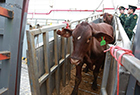 澳大利亚肉牛运抵浙