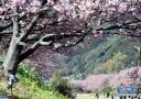 日本樱花绽放