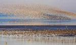 鸟浪如潮!鸭绿江口湿地观鸟正当时 密集恐惧症慎点