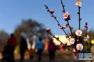 约起?青岛梅园本周迎来最美花期 梅花节3月22日开幕