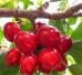 又到一年樱桃成熟时 盘点郑州7个樱桃采摘地