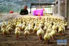 鹅苗孵化助贫困残疾人增收