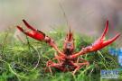 """揭秘""""瞎""""涨价背后的小龙虾:别嫌贵,您不一定吃得到"""