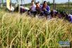 """""""海水稻""""背后:向盐碱地要良田发展智慧农业"""