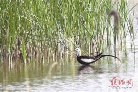 淡水湿地最美的鸟 焦作首次拍摄到了水凤凰