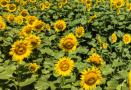 百亩滩涂向日葵盛开