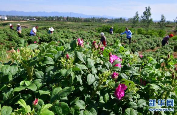 河南嵩县:多彩种植 助力乡村振兴