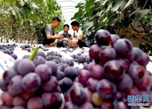 河南夏邑:产业扶贫助增收