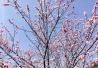 无锡蠡园桃花、郁金香进入盛开季