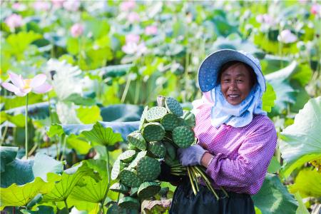 河南光山:太空莲籽喜获大丰收