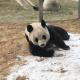 内有地热外有雪堆 大连大熊猫应对寒潮很滋润