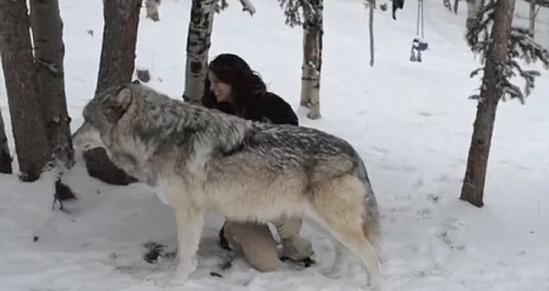 动物管理员与狼亲吻