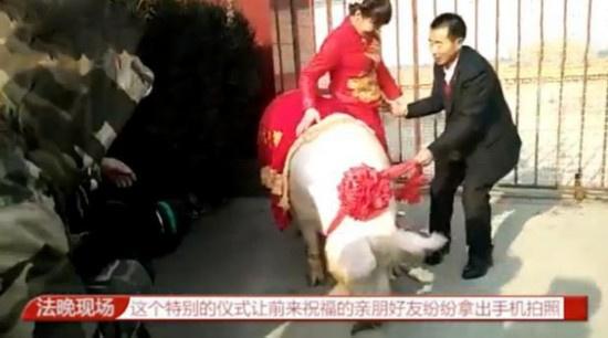 1260斤猪接新娘
